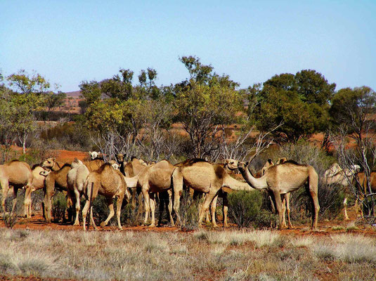 In Australien, gibt es eine beträchtliche Population von verwilderter Dromedare. (Camelus dromedarius)