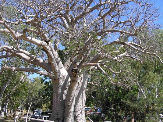 Der Boab Baum ist leicht zu erkennen durch den geschwollenen Stamm, der dem Baum ein flaschenartiges Aussehen gibt. Dieser hier in Wyndham W.A. ist über 200 Jahre alt. Er tritt in der Kimberley-Region von West-Australien, Osten und in den Northern Territ