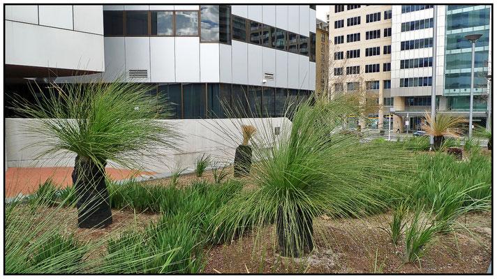 Adelaide Convention Centre. Grasbäume