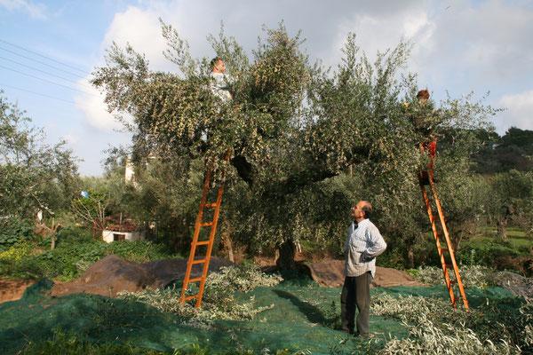 Familie Milionis bei Sparta, von ihnen hatten wir das erste Olivenöl, die Brüder haben ein Spitzenöl, alle Oliven sind ungespritzt und handgepflückt.
