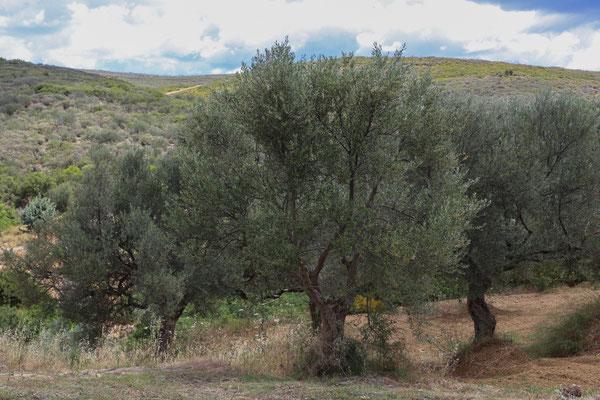Bauernkooperative Kefala Griechenland, über Sebastian von alles Olive (natives Olivenöl)