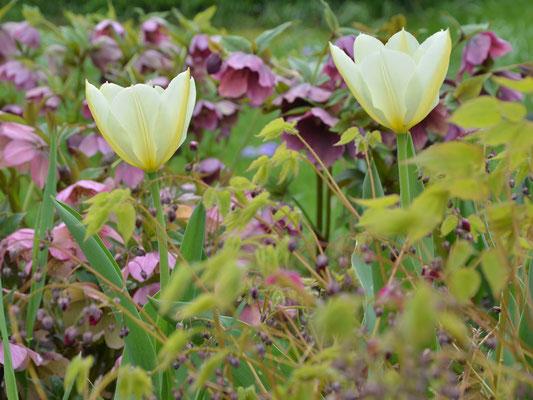 Cremefarbene Tulpen in Kombination mit dunklen Elfenblumen und Helleboris-Hybriden