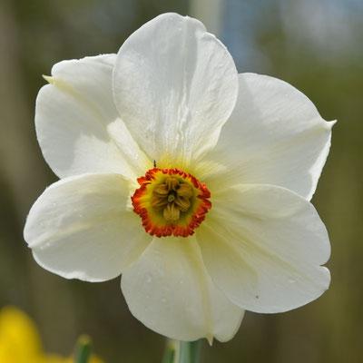 Dichternarzisse - Narcissus poeticus 'Actaea'