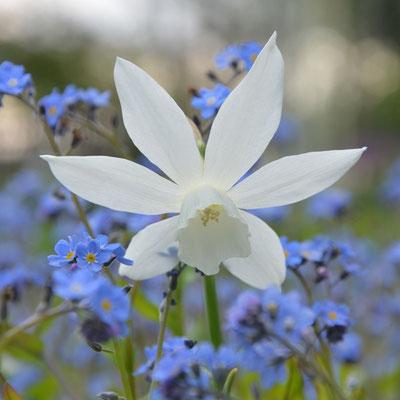 Weiße Engelstränen-Narzisse zwischen blauen Vergissmeinicht