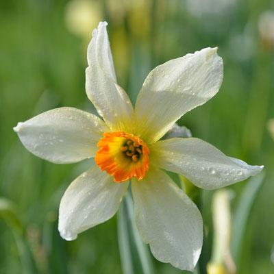 Wildnarzisse / Sternnarzisse - Narcissus radiiflorus
