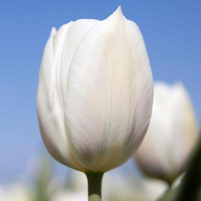Triumpf-Tulpe 'Inzell' - elfenbeinweiße Triumph-Tulpe