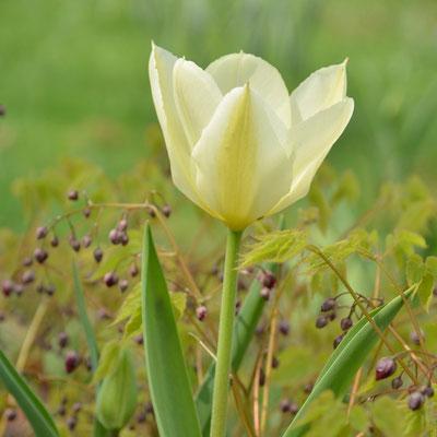 Weiße Tulpe vor Elfenblumen