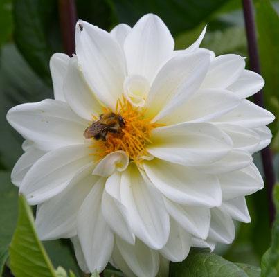 Biene auf Dahlienblüte