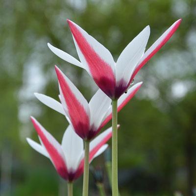 Damen-Tulpe Tulipa cluisiana - Historische Tulpe