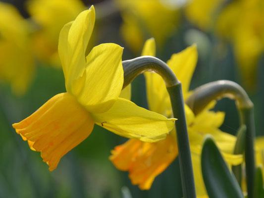 Bio-Narzisse - Narcissus cyclamineus 'Jetfire'