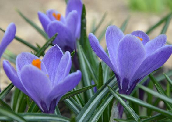 großblumige Gartenkrokusse in lavendelblau