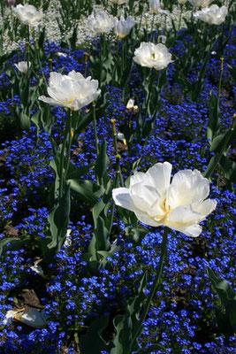 Weiße Tulpen zwischen Vergißmeinicht