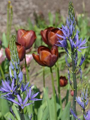 kastanienbraune Breeder-Tulpen T. 'Dom Pedro' mit blauen Prärielilien (Camassia)