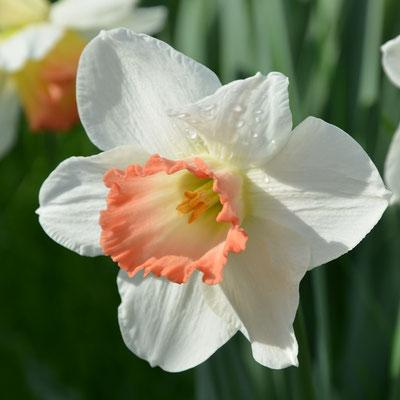 Narcissus 'Pink Charm' - Narzissen-Zwiebeln - Blumenzwiebelversand