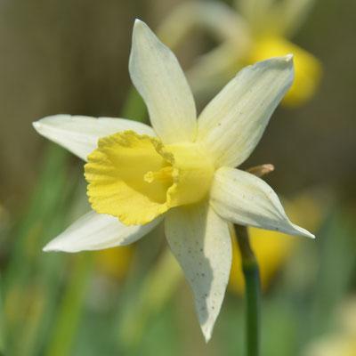 Trompeten-Narzisse - Narcissus 'Elka'