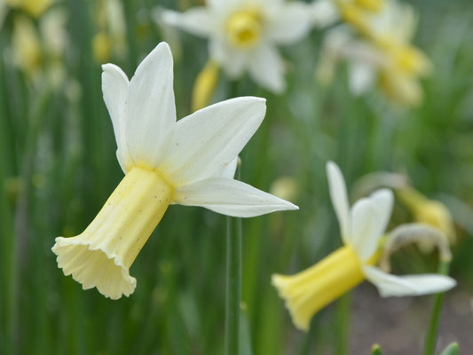 Alpenveilchen-Narzisse - Narcissus cyclamineus 'Tracey'