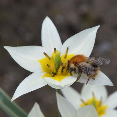 Wildtulpe Tulipa turkestanica mit Hummel