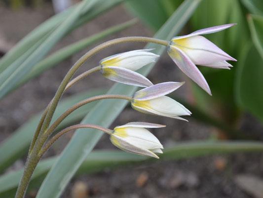 Wildtulpe Tulipa turkestanica