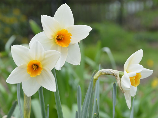 Kleinkronige Narzisse - Narcissus 'Suhaili'