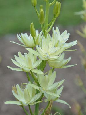 Weiße gefüllte Prärielilie Camassia leichtlinii 'Semiplena'