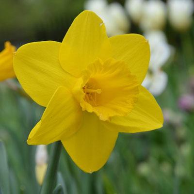 Narcissus Arctic Gold - Narzissen-Zwiebeln - Blumenzwiebelversand