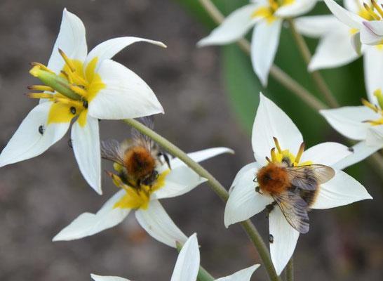 Bienen auf Wildtulpen