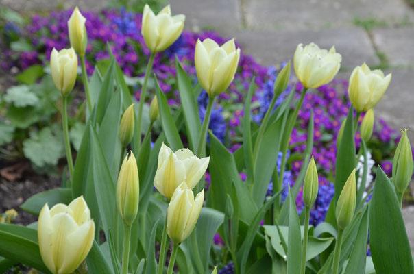 Weiße Tulpen vor violetten Primeln und blauen Hyazinthen
