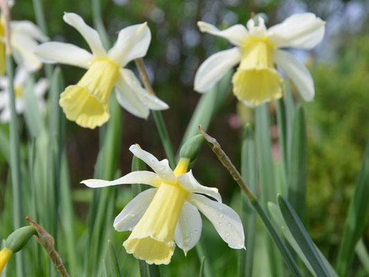 Wildnarzisse - Narcissus x johnstonii