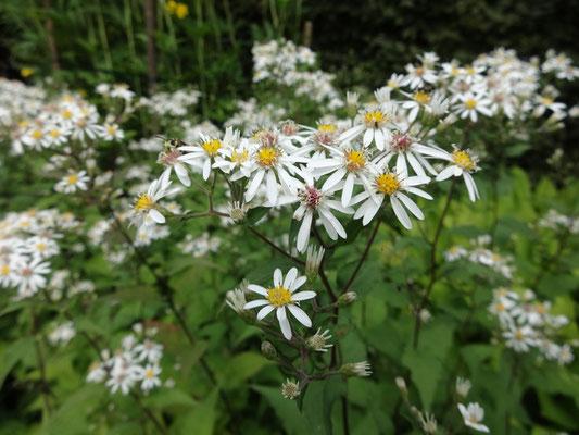 Weiße Myrten-Aster - Aster ericoides 'Schneetanne'