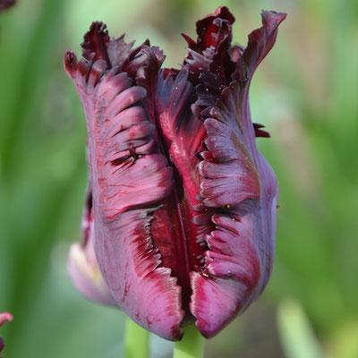 Papagei-Tulpe - Tulipa 'Black Parrot'