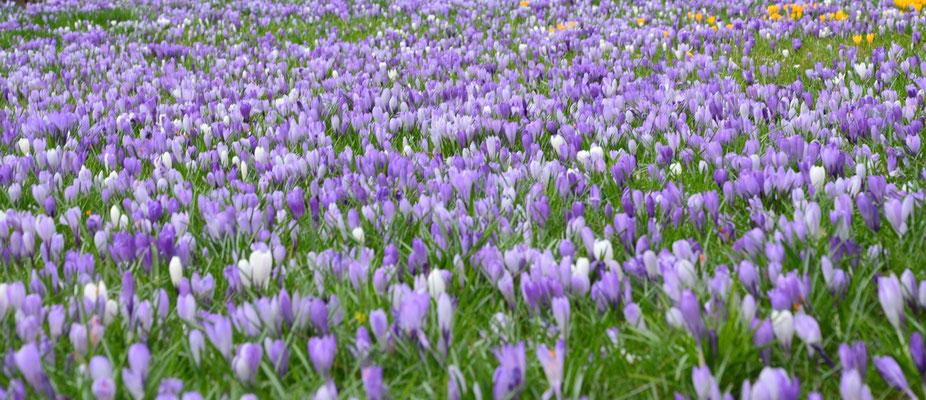 Krokuswiese aus blauen, weißen und violett-weiß gestreiften Krokussen