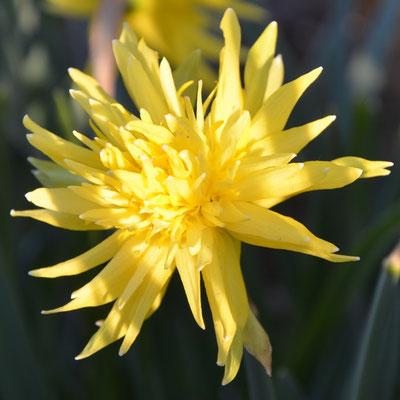 Narcissus Rip van Winkle - Narzissen-Zwiebeln - Blumenzwiebelversand