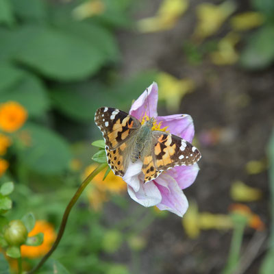 Schmetterling auf Dahlienblüte