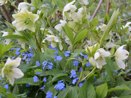 Weiße Christrosen Helleborus mit blauem Frühlings-Gedenkemein Omphalodes verna