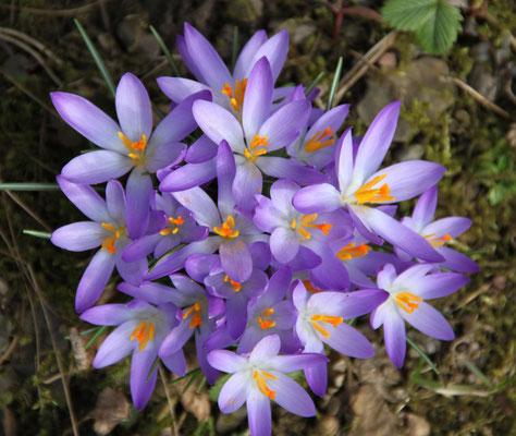 Wildkrokusse - lavendel-blau