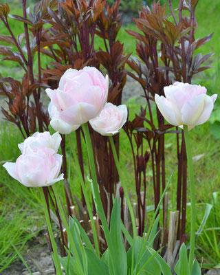 Pfingstrosen-Tulpen T. 'Angelique' vor austreibenden Pfingstrosen