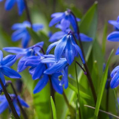 Blausternchen - Muscari armeniacum