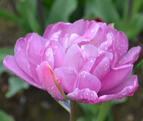 Gefüllte späte Tulpe - Tulipa 'Blue Diamond'