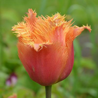 Crispa-Tulpe / Gefranzte Tulpe - Tulipa 'Lambada'