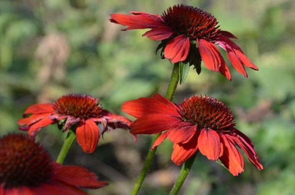 Rote Blüten - Echinacea purpurea