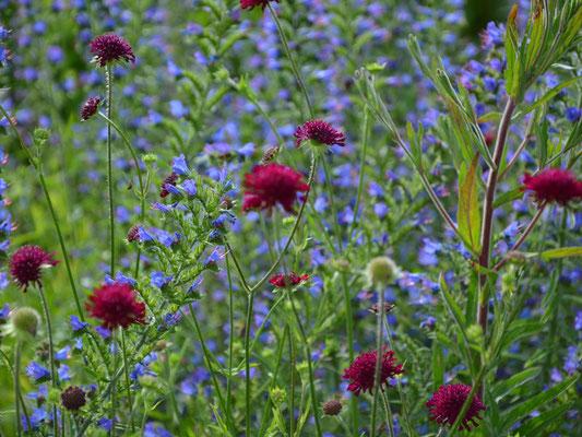 Rote Blüten - Knautia macedonica mit Blau kombiniert