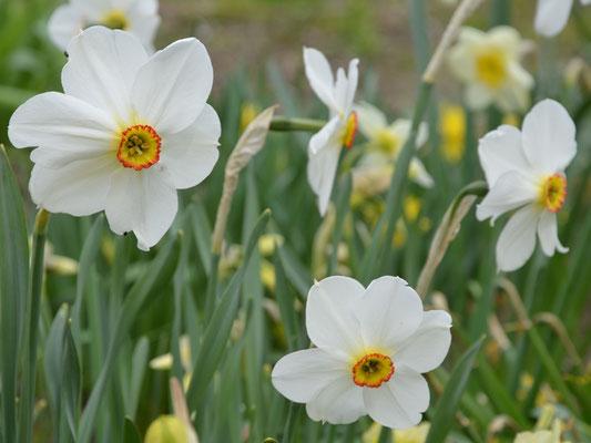 Wildnarzissen / Dichternarzissen - Narcissus poeticus