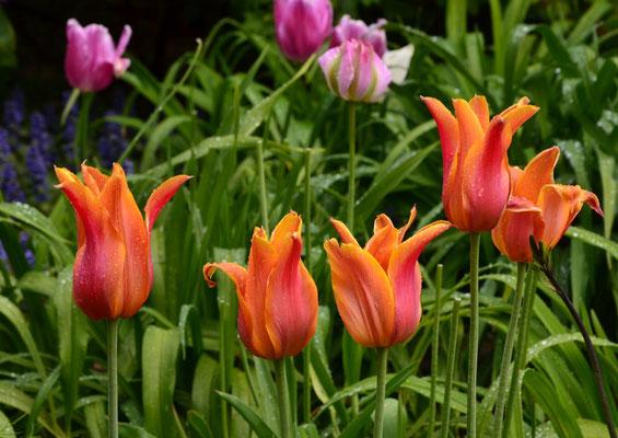 Orangerote Tulpen vor Grün und pinkfarbenen Tulpen