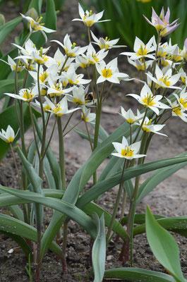 Wildtulpen Tulipa turkestanica - Gnomen-Tulpe