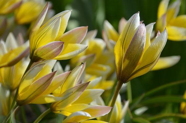Wildtulpen Tulipa tarda