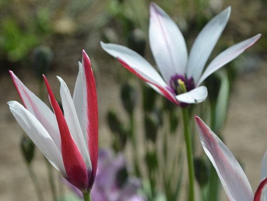 Wildtulpe - Tulipa clusiana