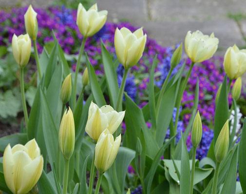 Weiße Tulpen mit einem Saum aus Violetten Primeln und blauen Hyazinthen