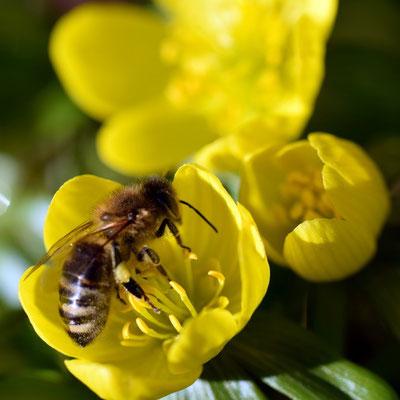 Winterlingblüte mit Biene