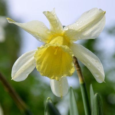 Narcissus triandrus 'Queen of Spain'