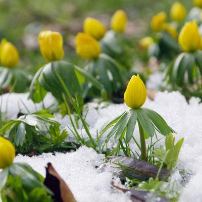 Winterlinge (Eranthis hyemalis) im Schnee